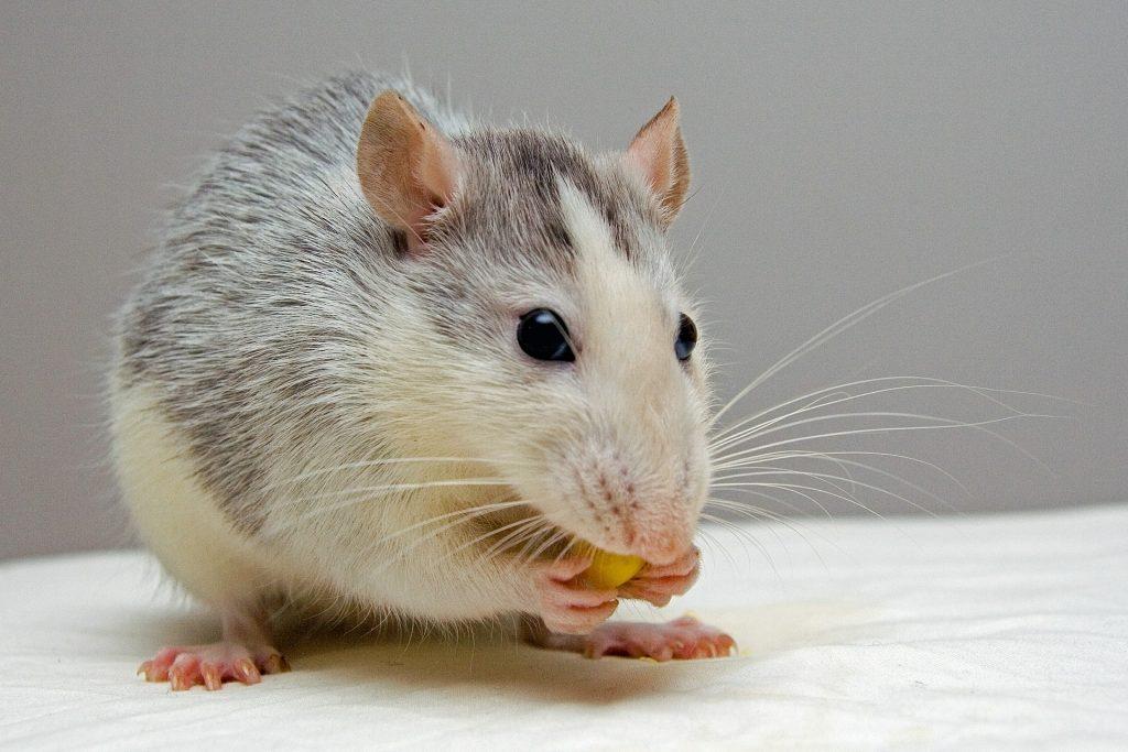 Comment se manifeste l'évolution des rats